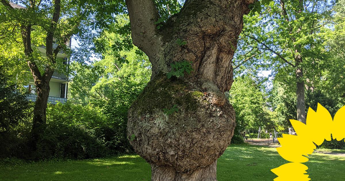 GRÜNE Fraktion: Satzung zum Schutz des Baumbestandes in Koblenz endlich beschließen